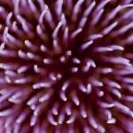 Artichoke_Flower_MG_0562