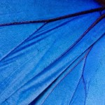 Blue_Morph_ButterFly_MG_5139