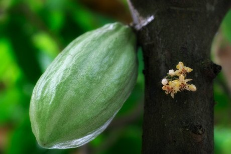 Cocoa Pod & Cacao Flowers (Bali, Indonesia)