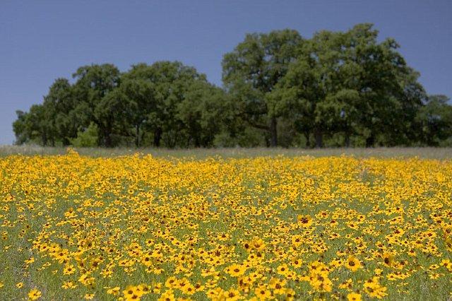 Texas Daisy Field