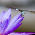 Dragon_Fly_MG_6282