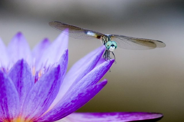 Color Boom Dragonfly
