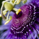 Passion_Flower_MG_5585
