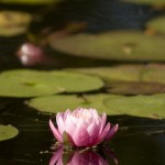 Water_Lilly_MG_7699