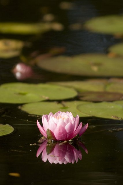 "Water Lilly - ""Lotus"""